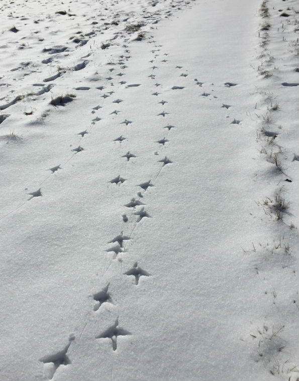 turkeytracks